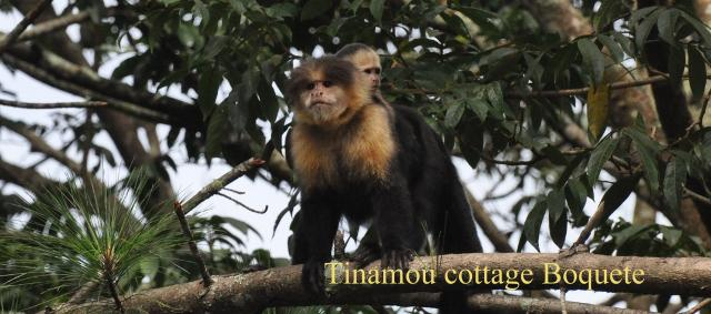 Capuchin monkeys in front of the great Tinamou Cottage