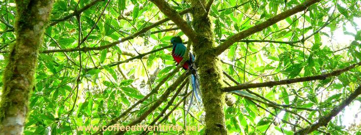 Quetzal cloud forest, old indian trail, Coffee adventures tours, Boquete, Panama