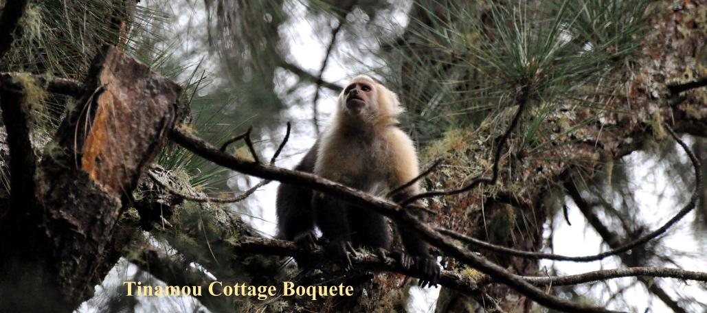 picture from the Highland Tinamou White faced Capuchin monkey