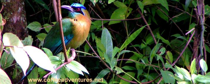 Motmot on the private reserve of Tinamou Cottage Boquete Panama